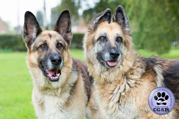 Molly and Bronx, a bonded pair of German SHepherds looking for a forever foster or adoption.