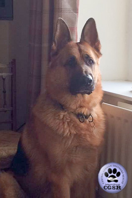 Quinn - a lovely 7 year old being assessed by Central German Shepherd Rescue.