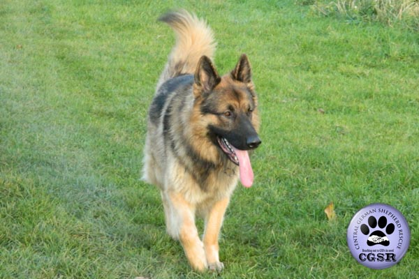 Rhagar - currently looking for adoption with Central German Shepherd Rescue = www.centralgermanshepherdrescue.com/ - cgsr.co.uk