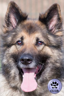 Roxy - a lovely 7 year old being assessed by Central German Shepherd Rescue.