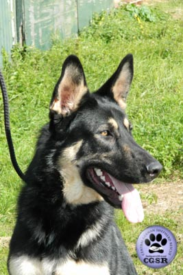 Smudge - a lovely 7 year old being assessed by Central German Shepherd Rescue.
