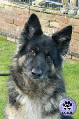 Sophie - a lovely 7 year old being assessed by Central German Shepherd Rescue.