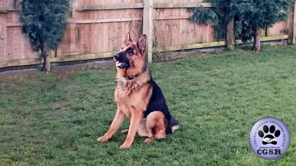 Troy - a lovely 7 year old being assessed by Central German Shepherd Rescue.