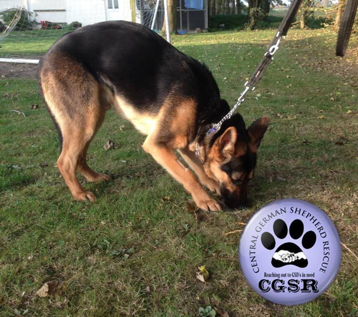 Tyson - patiently waiting for adoption through Central German Shepherd Rescue
