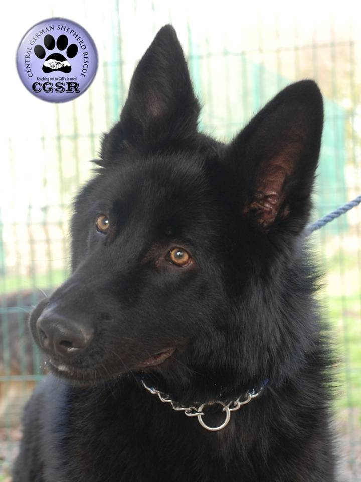 Badger - currently looking for adoption with Central German Shepherd Rescue