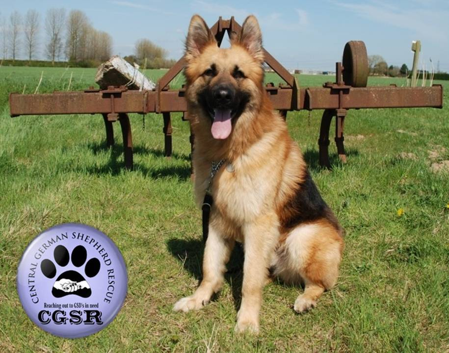 George - currently looking for adoption with Central German Shepherd Rescue