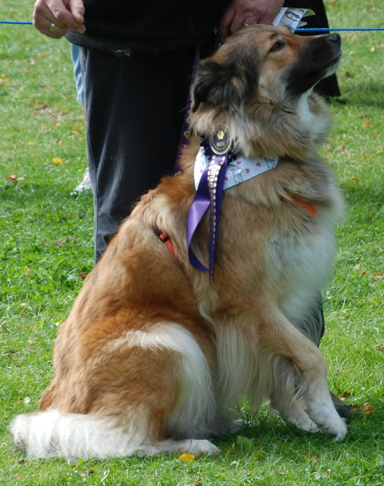 Leigha - currently looking for adoption with Central German Shepherd Rescue