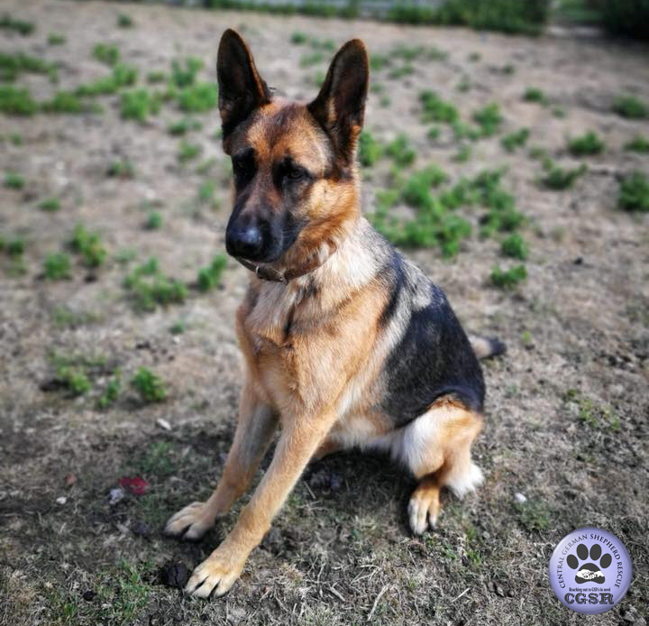 Vi - currently looking for adoption with Central German Shepherd Rescue