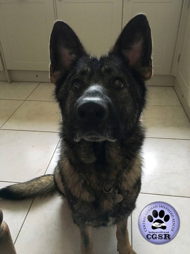 Holly - patiently waiting for adoption through Central German Shepherd Rescue