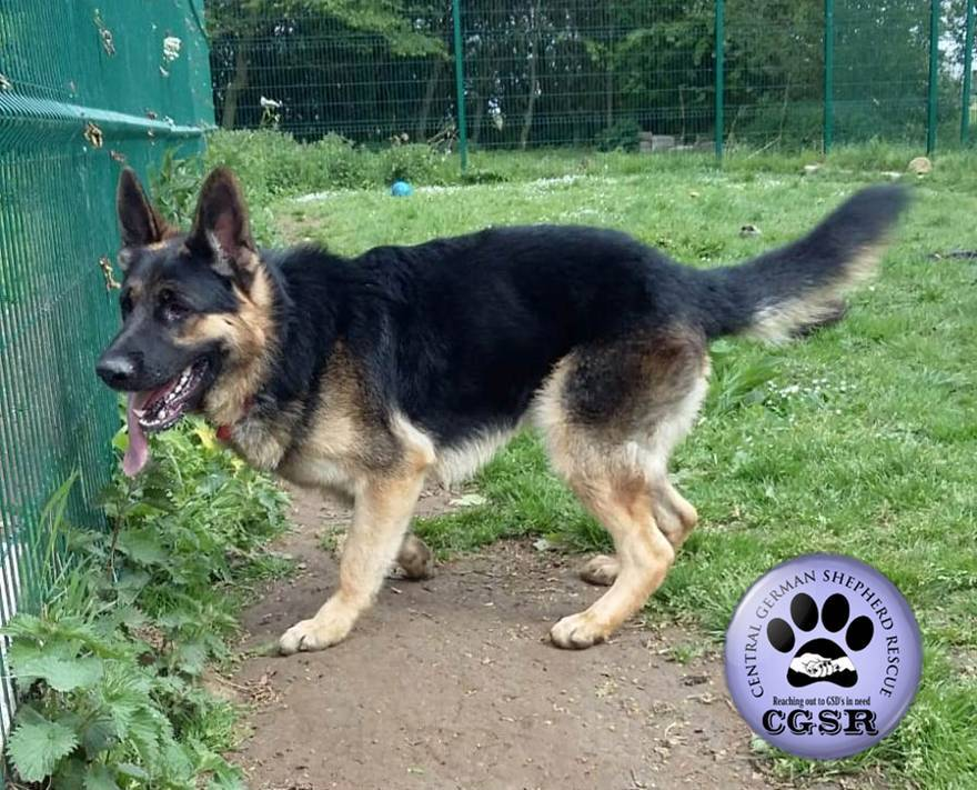 Marsh - patiently waiting for adoption through Central German Shepherd Rescue