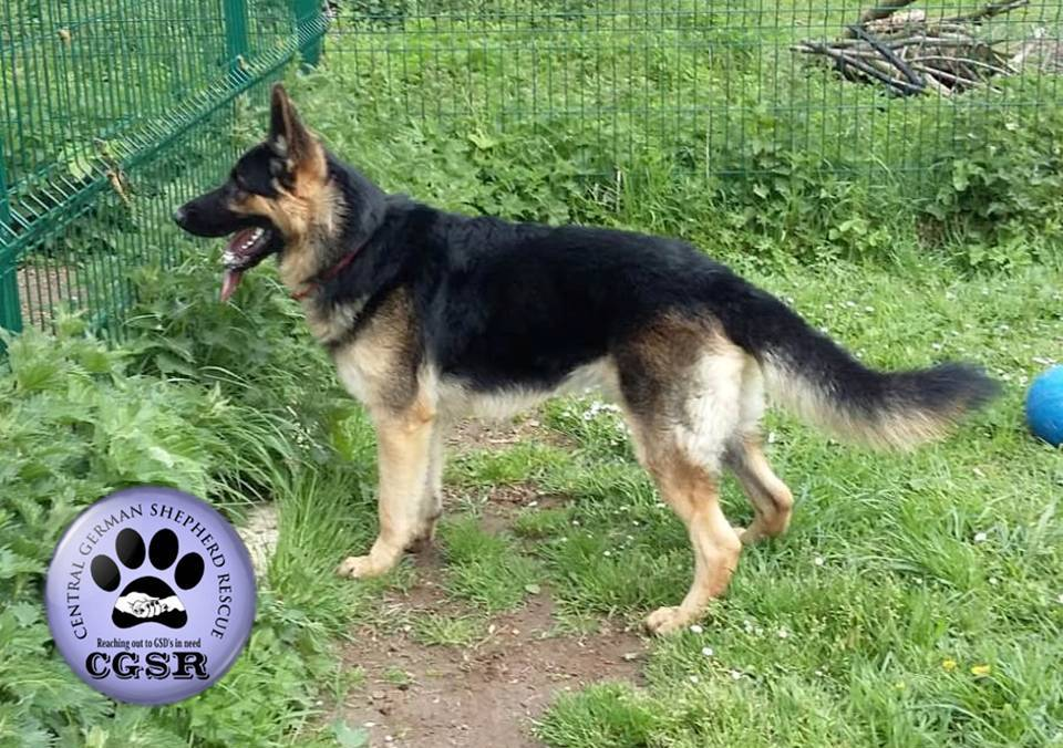 Marsh - currently looking for adoption with Central German Shepherd Rescue