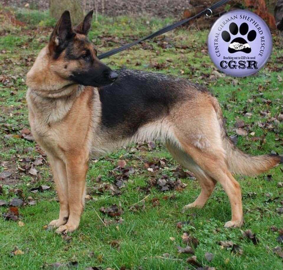 Megan - currently looking for adoption with Central German Shepherd Rescue
