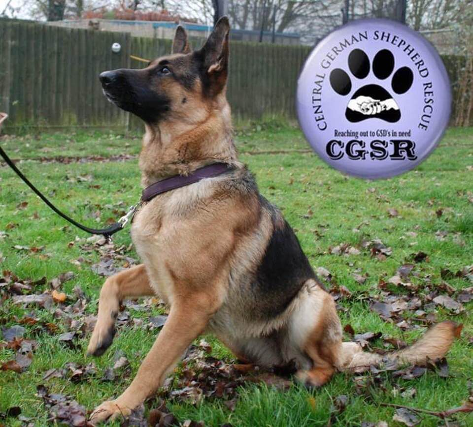 Megan - patiently waiting for adoption through Central German Shepherd Rescue