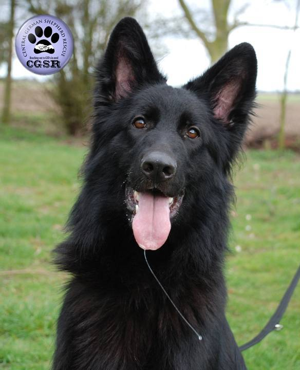 Saffie - currently looking for adoption with Central German Shepherd Rescue