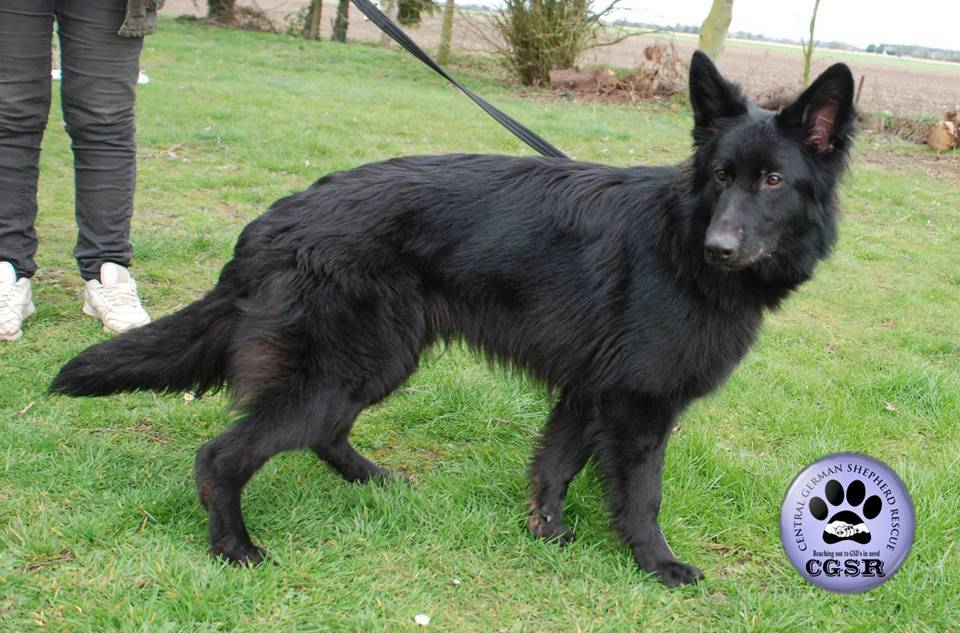 Saffie - patiently waiting for adoption through Central German Shepherd Rescue