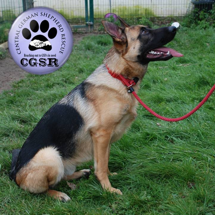 Lenny - currently looking for adoption with Central German Shepherd Rescue