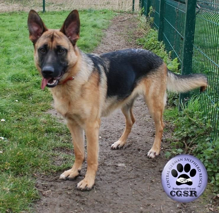 Lenny - patiently waiting for adoption through Central German Shepherd Rescue