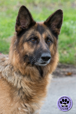 Tess successfully adopted from Central German Shepherd Rescue - CGSR