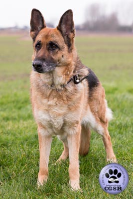 Marley - successfully adopted from Central German Shepherd Rescue