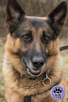 Cane - Central German Shepherd Rescue - CGSR