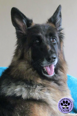 Coco - Central German Shepherd Rescue - CGSR