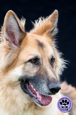 Gunner - Central German Shepherd Rescue - CGSR