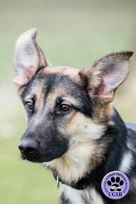 Jodie - Central German Shepherd Rescue - CGSR