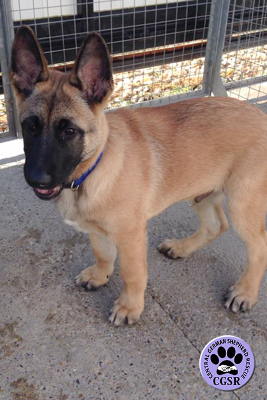 Kai - Central German Shepherd Rescue - CGSR