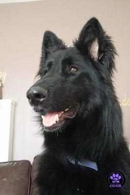 Khan - successfully renited by Central German Shepherd Rescue