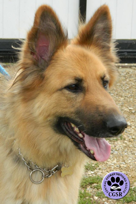 Kiera - Central German Shepherd Rescue - CGSR