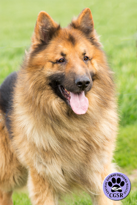 Simba - successfully adopted from Central German Shepherd Rescue - CGSR