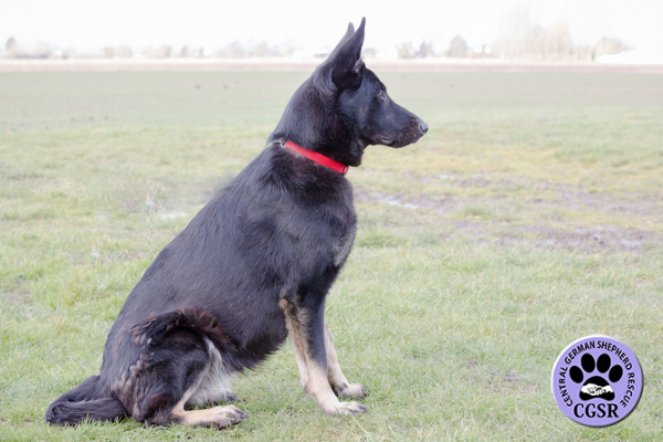 Tara - Central German Shepherd Rescue
