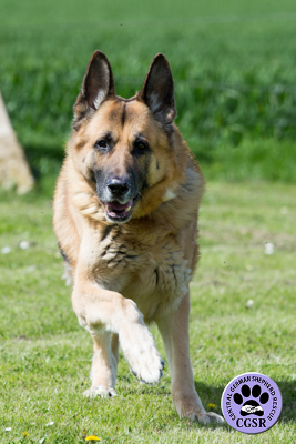 Tonka - Central German Shepherd Rescue - CGSR