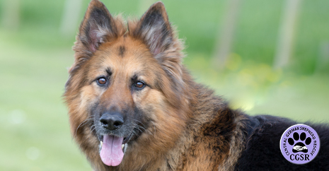 Central German Shepherd Rescue - Jack
