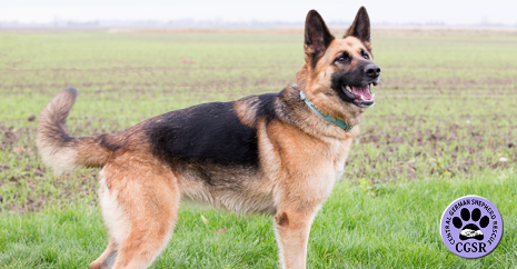 Foster For Cgsr Central German Shepherd Rescue