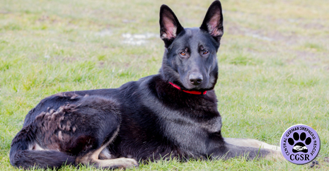 Central German Shepherd Rescue - Tara