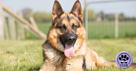 Central German Shepherd Rescue - Taz